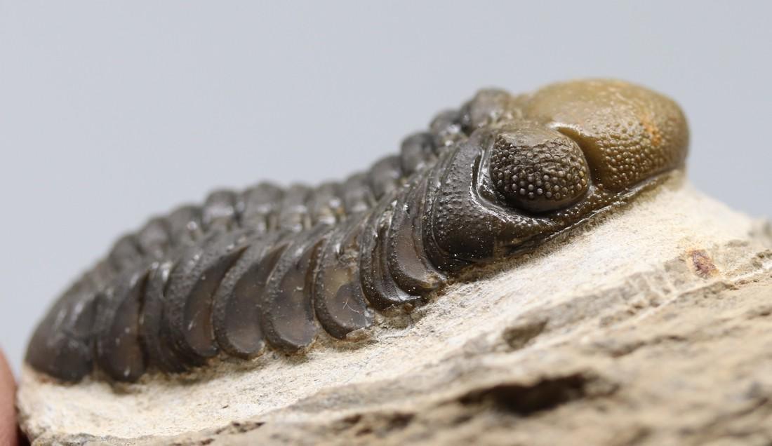 Double colored fossil trilobite : Barrandeops - 4