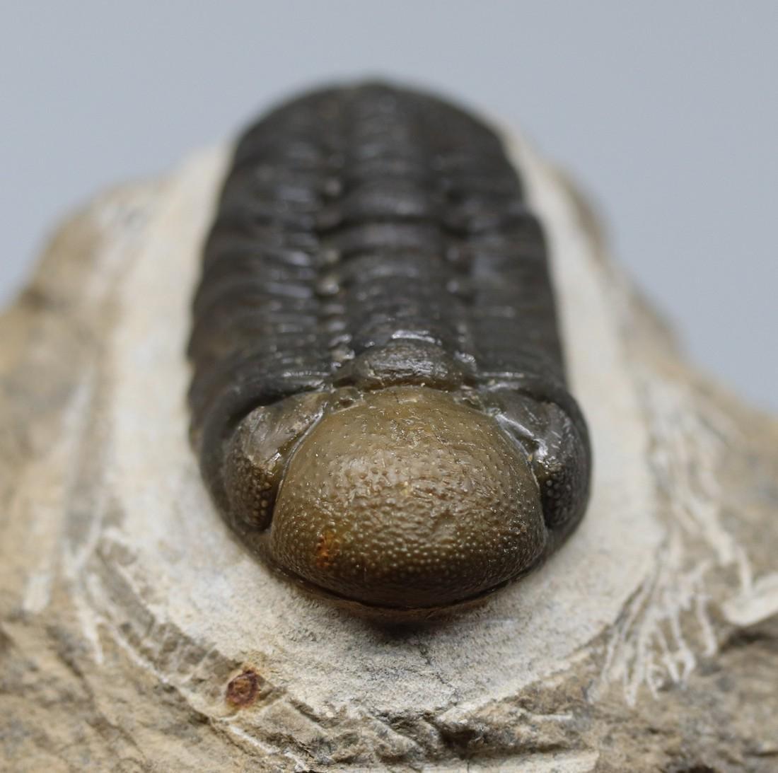 Double colored fossil trilobite : Barrandeops - 5