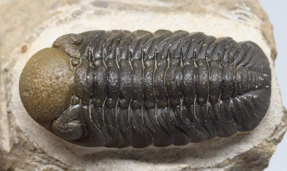 Double colored fossil trilobite : Barrandeops - 6