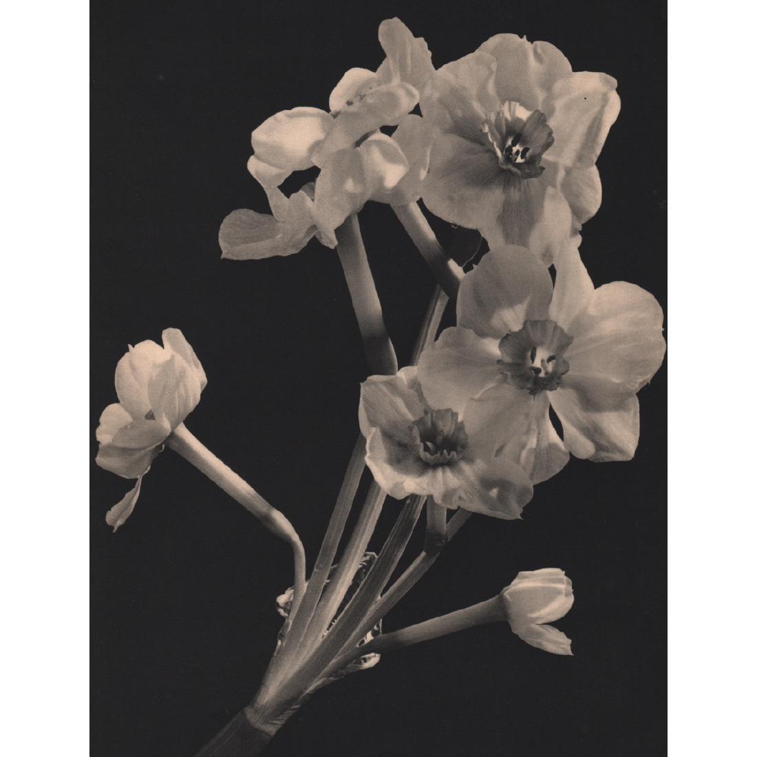 WILLEM VAN DE POLL - White Narcissus