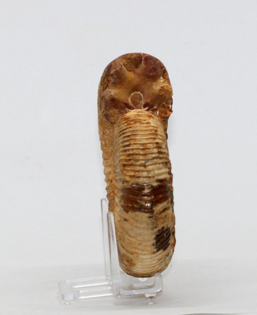 Jurassic ammonite : Kranaosphinctes roedereri - 3