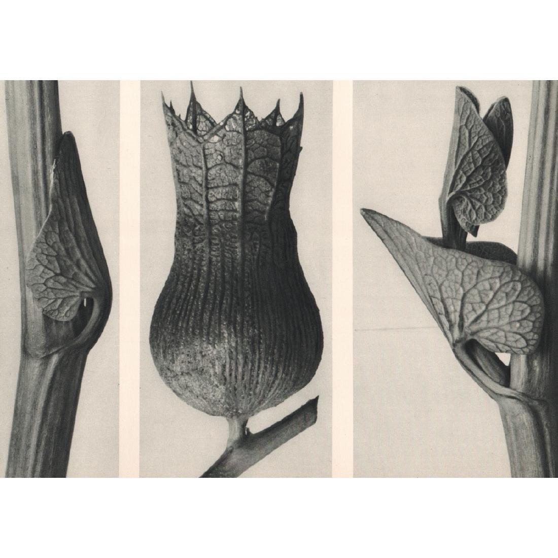 KARL BLOSSFELDT - Aristolochia clematitis & Hyoscyamus