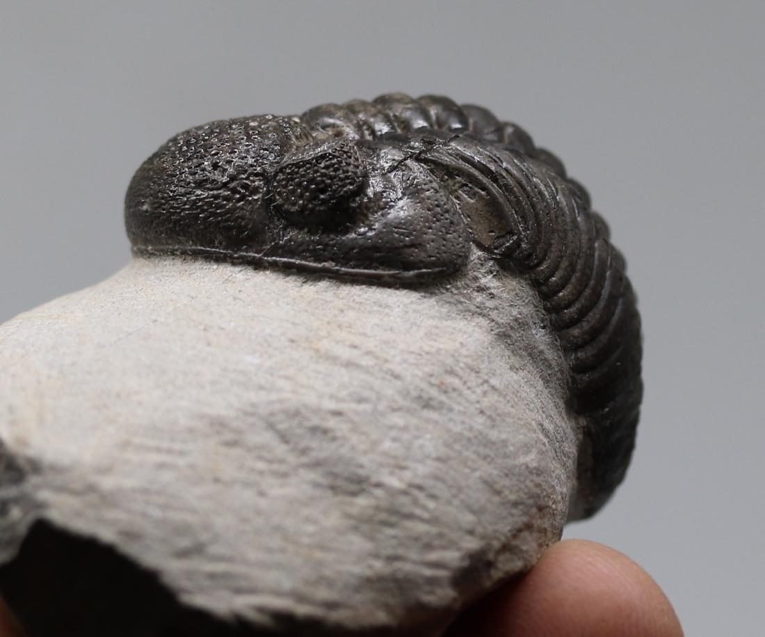 Big trilobite with perfect eyes : Hypsipariops - 3