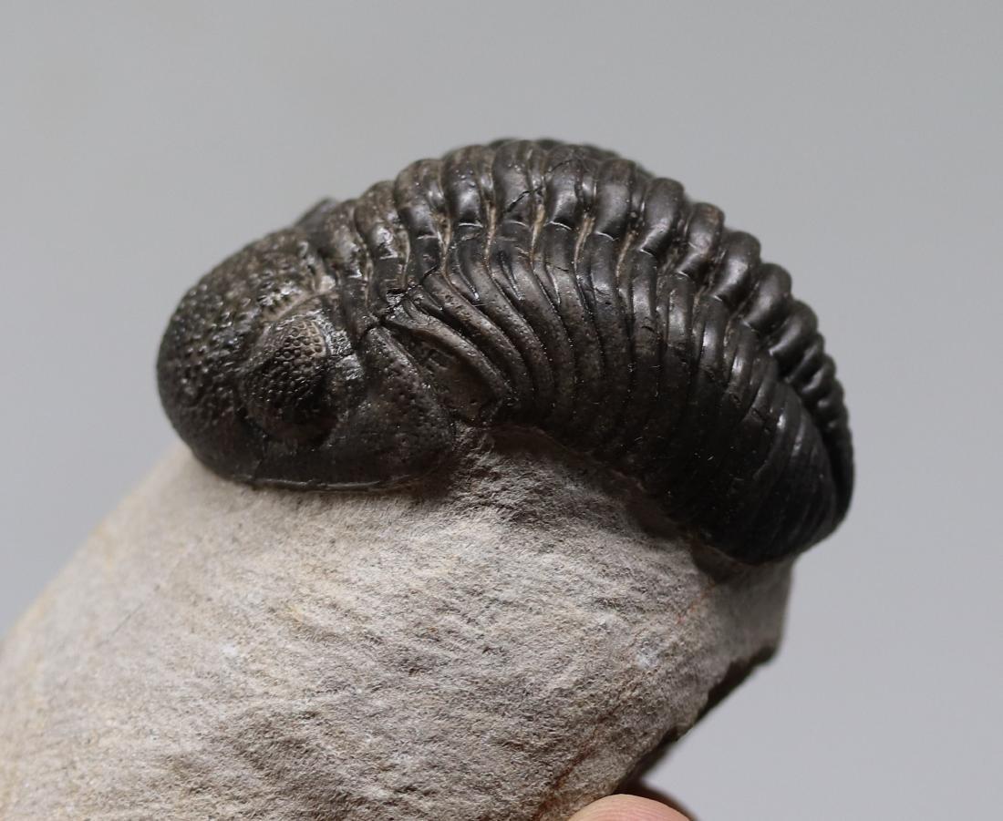 Big trilobite with perfect eyes : Hypsipariops - 4