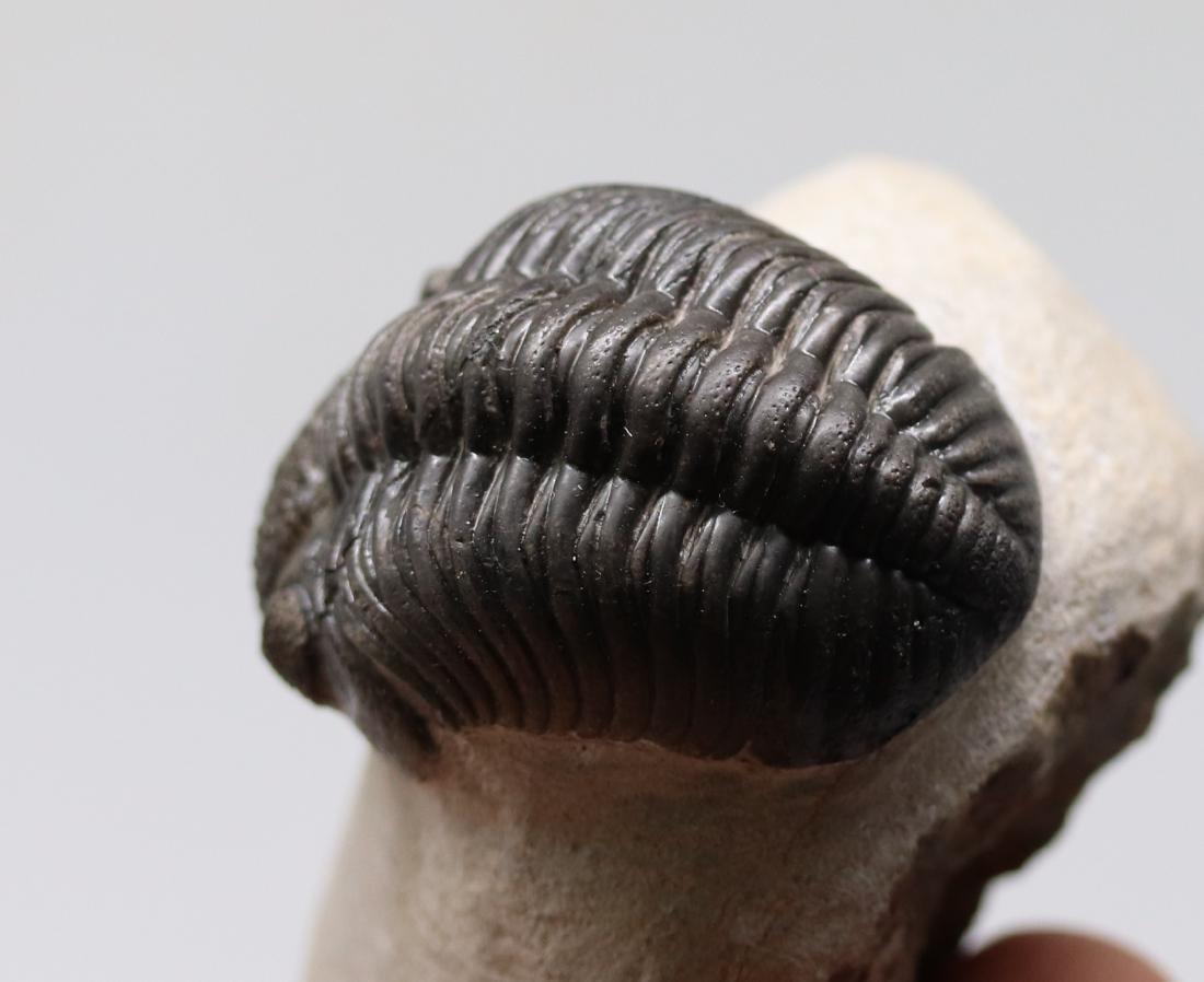 Big trilobite with perfect eyes : Hypsipariops - 5