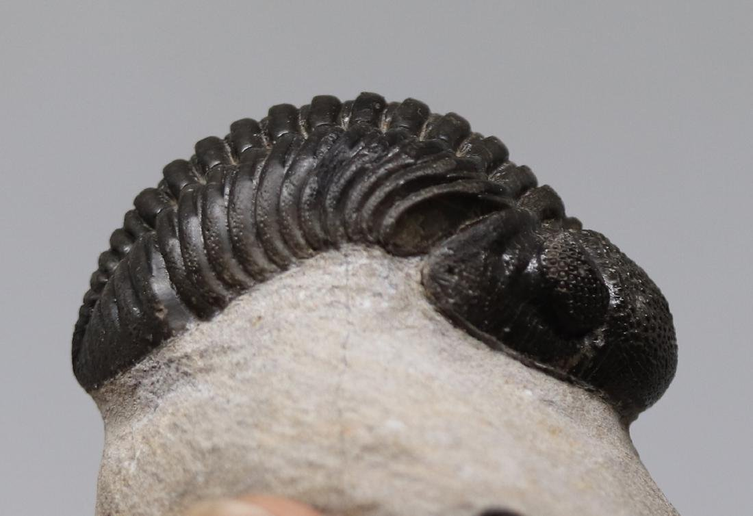 Big trilobite with perfect eyes : Hypsipariops - 6