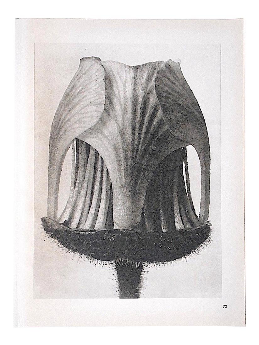 KARL BLOSSFELDT - Extreme Botanical Close-Ups