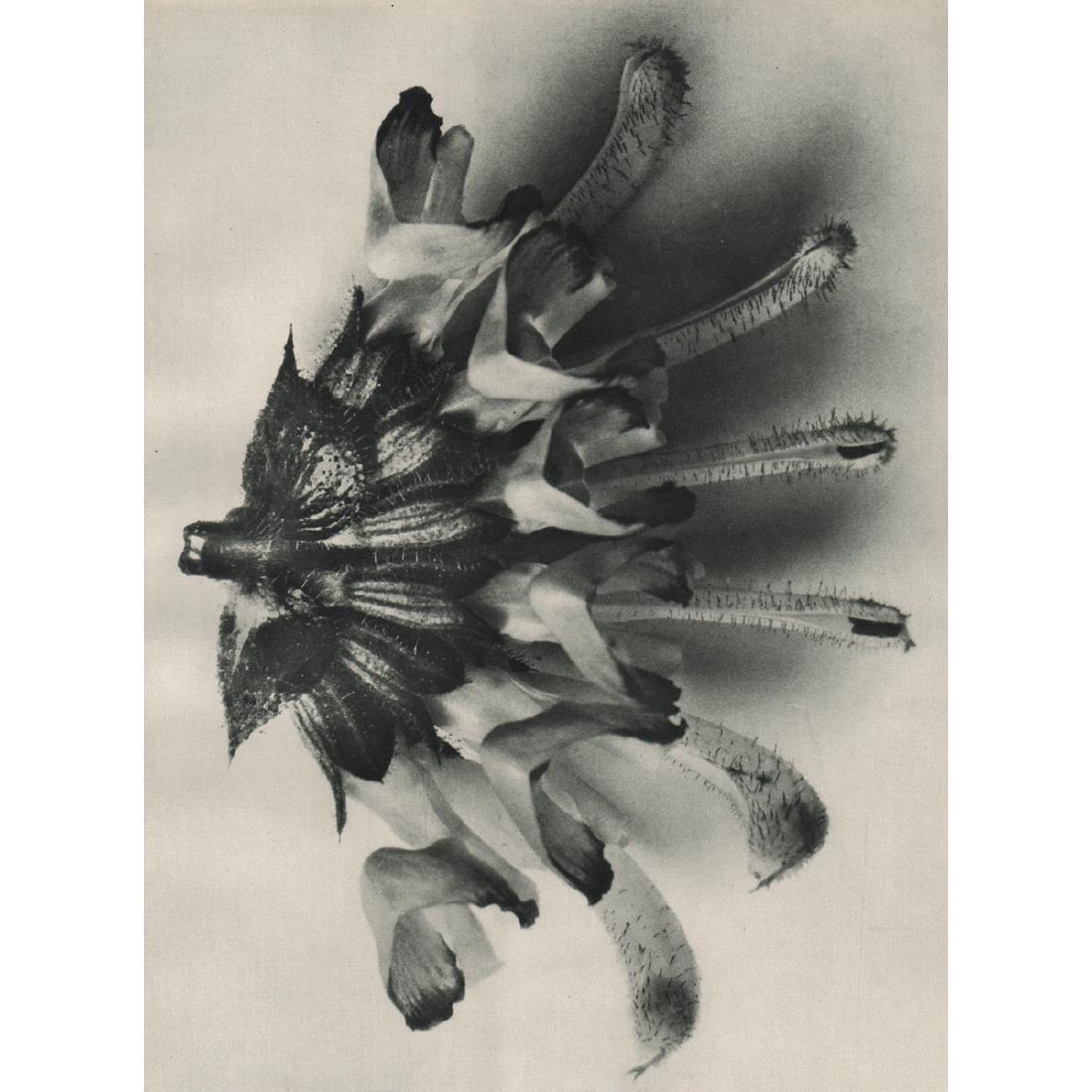 KARL BLOSSFELDT - Salvia argetea