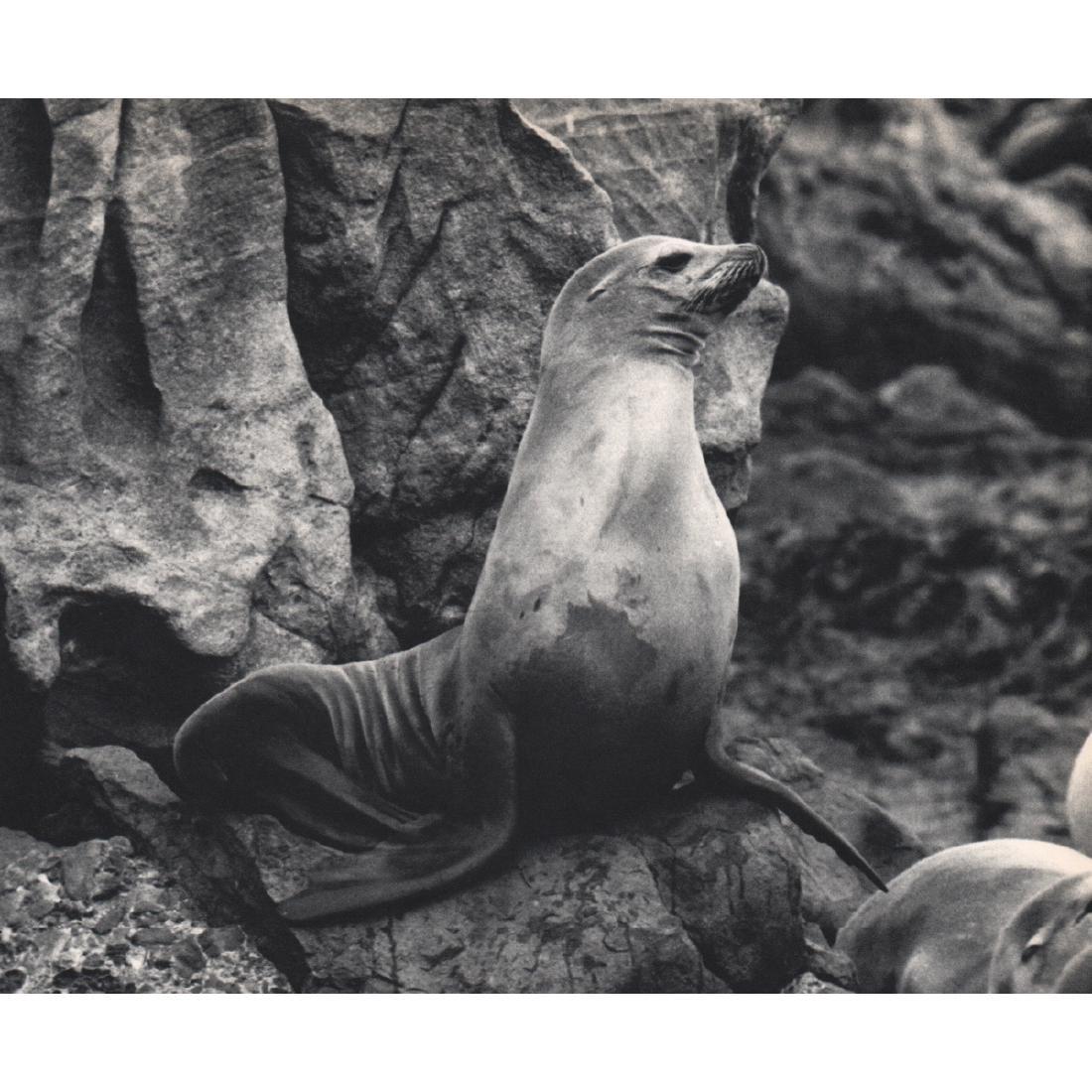KARL W. KENYON - California Sea Lions