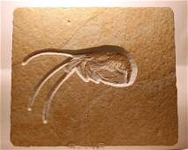 Outstanding fossil from Solnhofen : Aeger spinipes