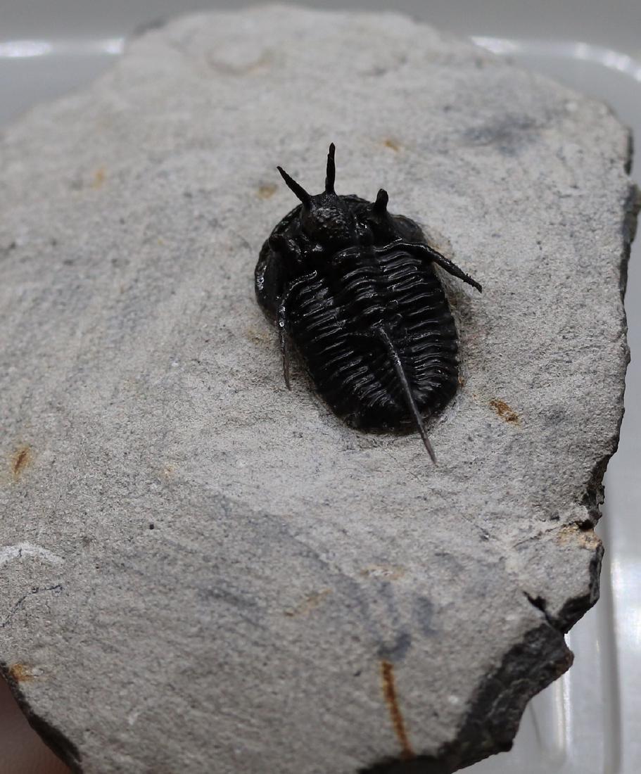 """Flying fossil trilobite """"devil horn"""": Cyphaspis"""