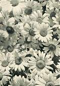DR. ALFRED GRABNER - Ox-Eye Daisies