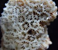 CALCITE PSM CORAL - NEW DISCOVERY