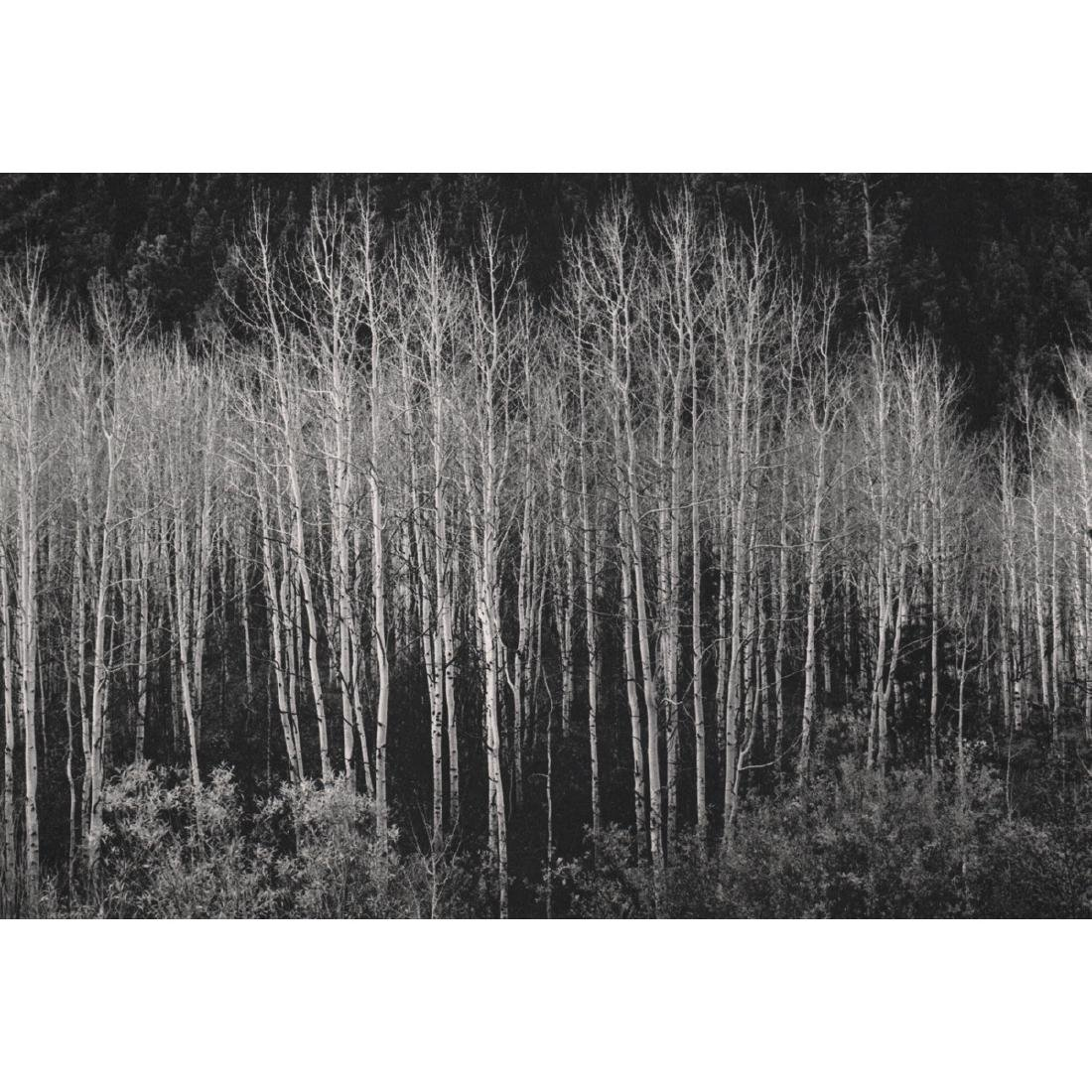 ANSEL ADAMS - Aspens, Autumn, 1937