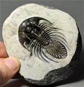Rare trilobite Kolihapeltis sp.