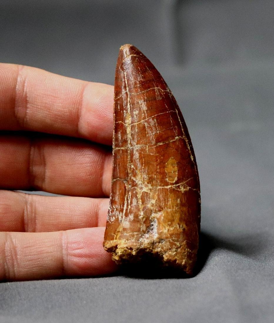 African T-Rex dinosaur tooth : Carcharodontosaurus