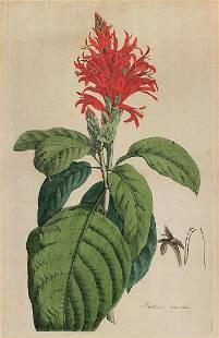Justicia Coccinea scarce h/c print - 1793