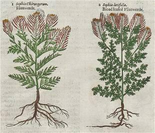 Flixeweede woodcut John Gerard 1597