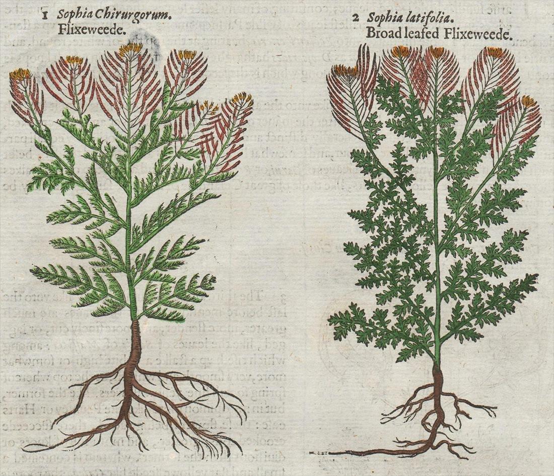 Flixeweede woodcut, John Gerard 1597
