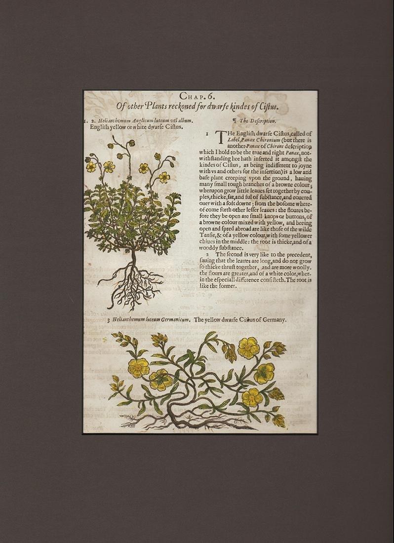 Dwarf citrus woodcut, John Gerard 1633