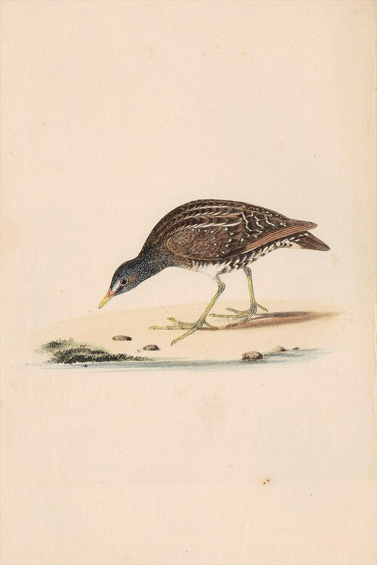 Shore bird hand colored vintage print