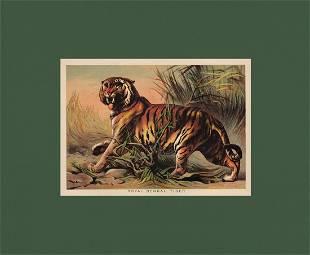 Striking chromo of Bengal Tiger H Johnson 1880