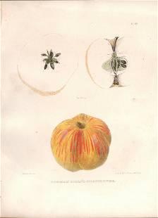 1st ed Gilliflower apple litho Emmons 1849