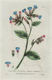 Common Lungwort copperplate engr 1834
