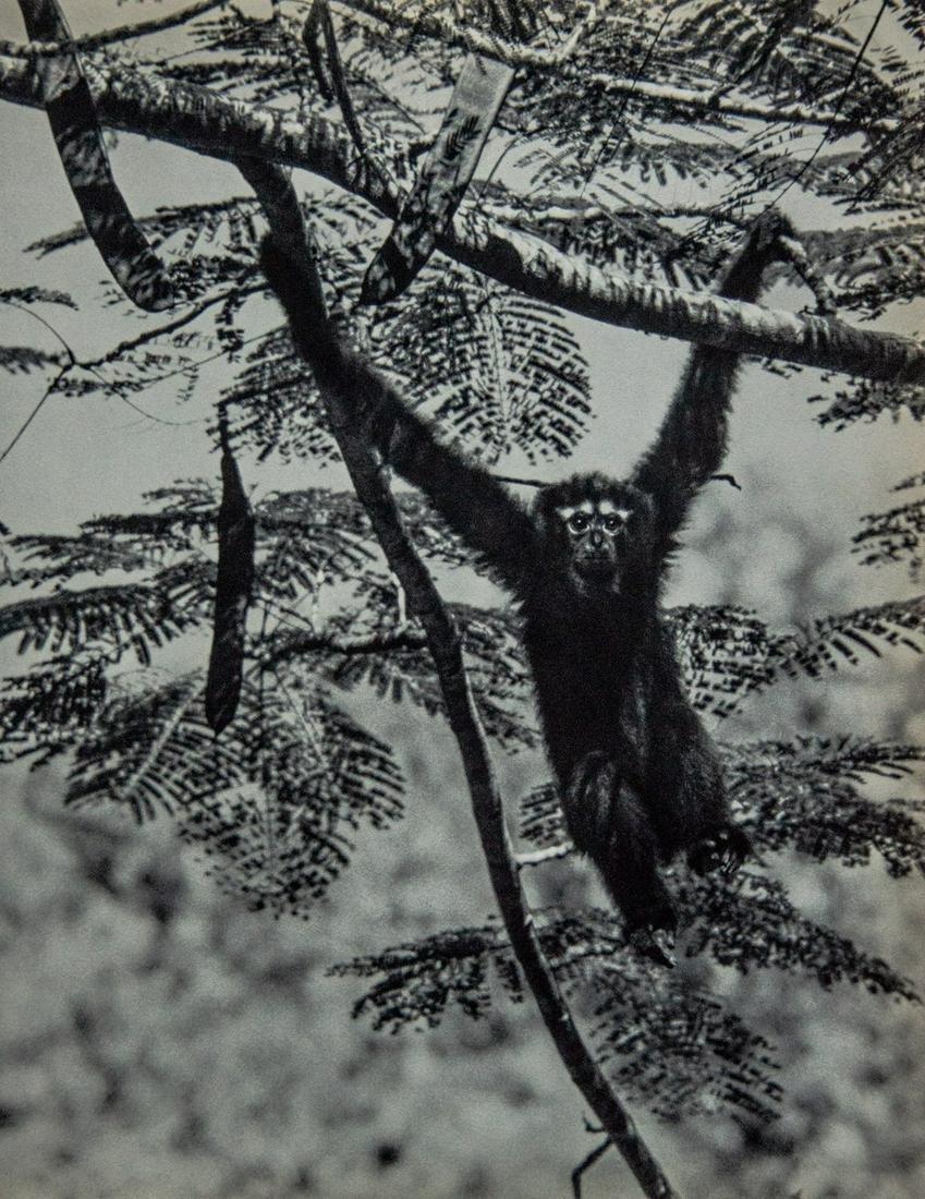 YLLA - Hoolock Gibbon Swings Through Trees