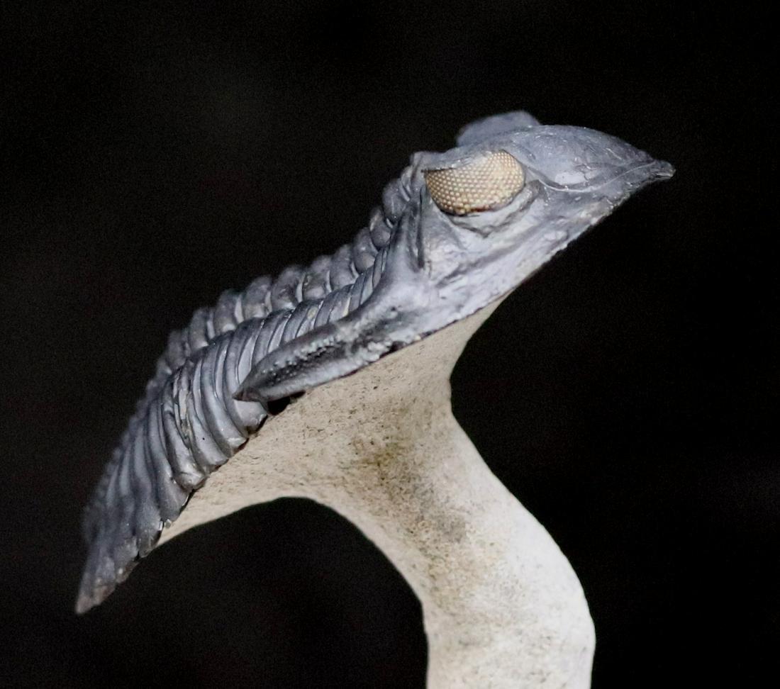 Flying trilobite with yellow eyes: Hollardops