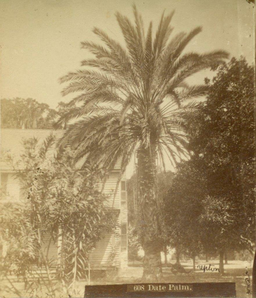 ca. 1880 DATE PALM TREE in FLORIDA by UPTON