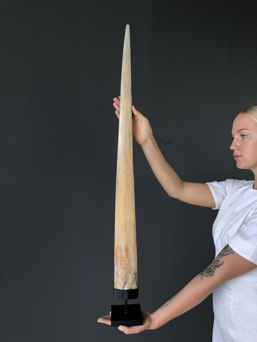 Fine Large Swordfish Tusk with custom stand