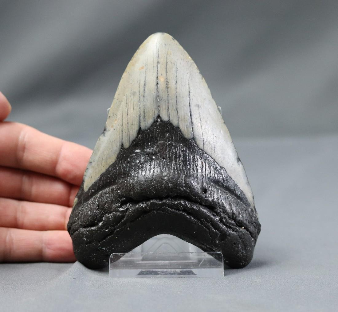 Huge Megalodon Tooth