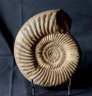 Jurassic Ammonite With Top Conservation :
