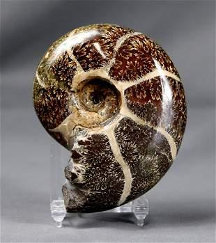 Breathtaking Ammonite : Desmoceras Latidorsatum