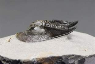 Fossil Trilobite : Harpes Perradiatus With Flying