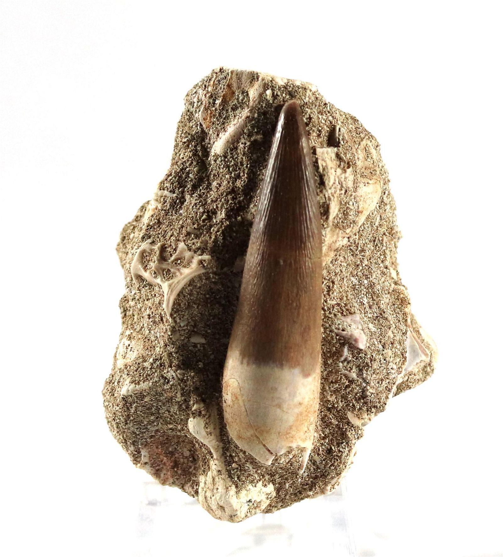 Perfect Plesiosaur Tooth : Zarafasaurus Orientalis