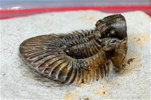 Rare Spiny Trilobite : Scabriscutellum Lahceni