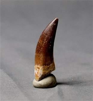 Outstanding Plesiosaur Tooth : Zarafasaurus Orientalis