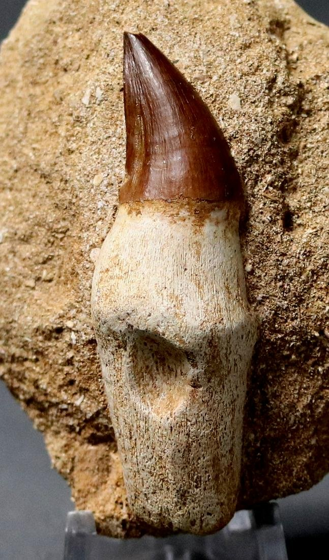 Huge Mosasaur Tooth : Prognatodon Anceps