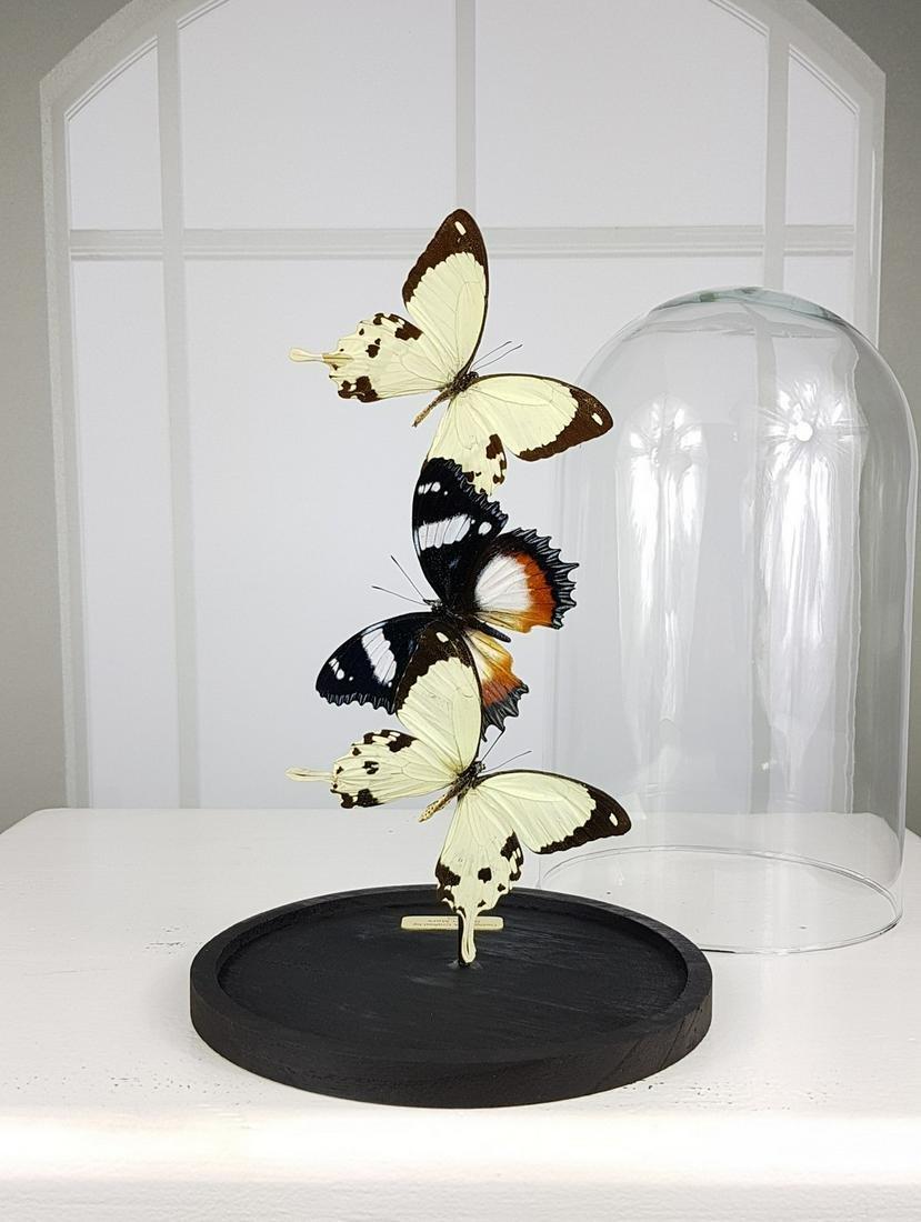 Butterfly Artwork under Glass Dome - Papilio Dardanus &