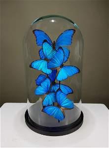 Butterfly Artwork Morpho Didius & Menelaus under glass