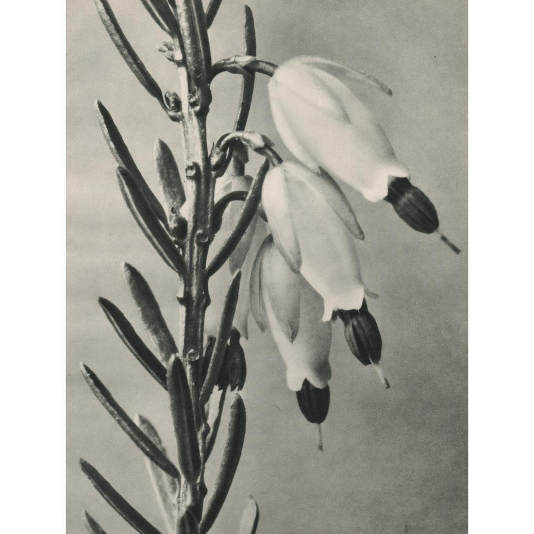 KARL BLOSSFELDT - Erica herbacea