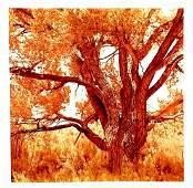 David Benjamin Sherry - Cottonwood Tree II(Orange),