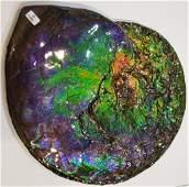 Colourful Canadian Ammonite