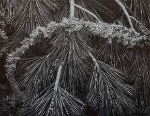 ANSEL ADAMS - Sugarpine Boughs, Lichen, Yosemite 1962