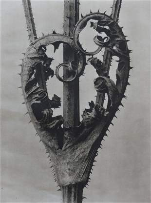 KARL BLOSSFELDT - Weber Thistle Dried On Stem, 1942