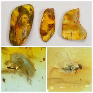 Inclusions in natural Baltic amber, stones beetle