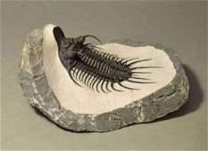 Rare museum-display spiny trilobite - New species cf.