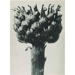 KARL BLOSSFELDT - Centaurea macrocephala